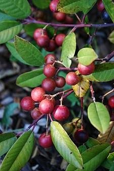 Rhamnus (Frangula) californica 'Eve Case' California coffeeberry