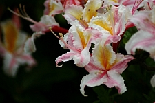 Rhododendron occidentale  western azalea