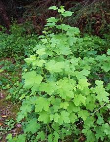 Ribes divaricatum  spreading gooseberry