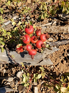 Rosa spithamea  Sonoma rose