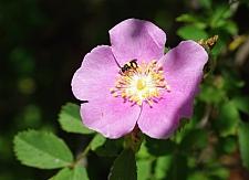 Rosa californica  California wild rose