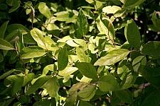 Salix breweri 'Cedar's Gold' Brewer's willow