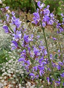 Salvia barrelieri