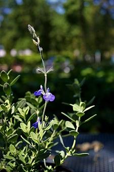 Salvia chamaedryoides  germander sage