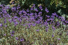 Salvia clevelandii 'Winnifred Gilman' fragrant sage