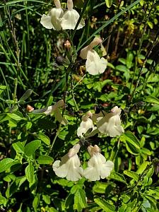 Salvia microphylla 'Heatwave Glimmer' sage