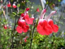 Salvia  'Hot Lips' sage