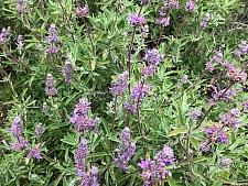 Salvia clevelandii x 'Kaleidoscope' sage