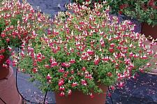 Salvia  'Little Kiss'