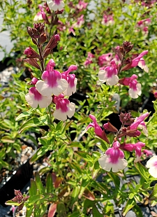 Salvia  'Mirage Rose Bicolor' sage