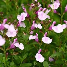 Salvia greggii 'Mirage Soft Pink' autumn sage
