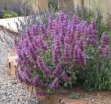 Salvia pachyphylla  rose sage