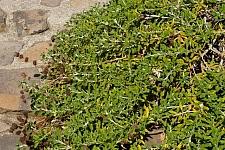 Salvia mellifera 'Terra Seca' black sage
