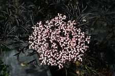 Sambucus nigra 'Black Lace' cut-leaf black elderberry