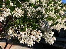 Arctostaphylos manzanita 'Sebastopol White'  common manzanita