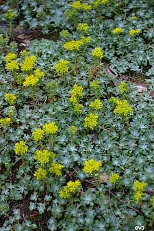 Sedum spathulifolium  Pacific stonecrop