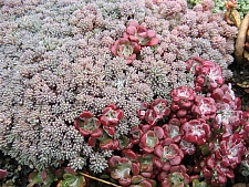 Sedum hispanicum  blue carpet, Spanish stonecrop