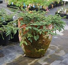 Sequoia sempervirens 'Nana Pendula' prostrate coast redwood