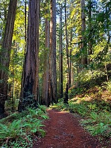 Sequoia sempervirens  coast redwood