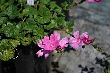 Sidalcea calycosa ssp. rhizomata  Point Reyes checkerbloom