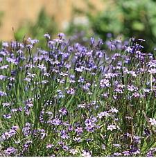 Sisyrinchium bellum  blue-eyed grass