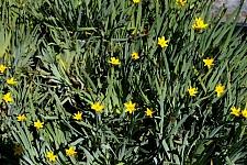 Sisyrinchium californicum  yellow-eyed grass