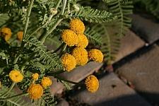 Tanacetum bipinnatum (camphoratum)  dune tansy