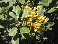 Heteromeles arbutifolia 'Davis Gold' gold fruited toyon