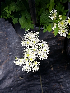 Trautvetteria caroliniensis  false bugbane
