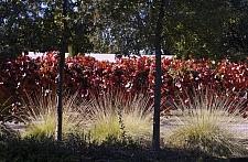 Vitis californica 'Roger's Red' California grape