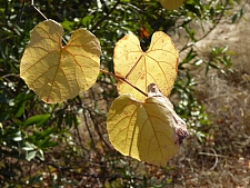 Vitis  californica  California wild grape
