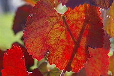 Vitis californica 'Russian River' California grape