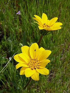 Wyethia angustifolia  narrow leaved mule ears