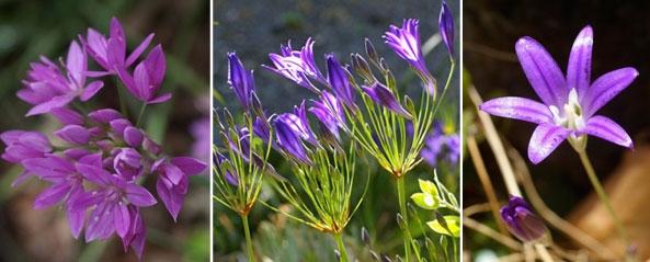 california native bulbs