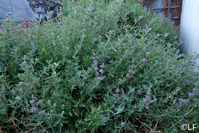 Salvia leucophylla 'Amethyst Bluff' purple sage