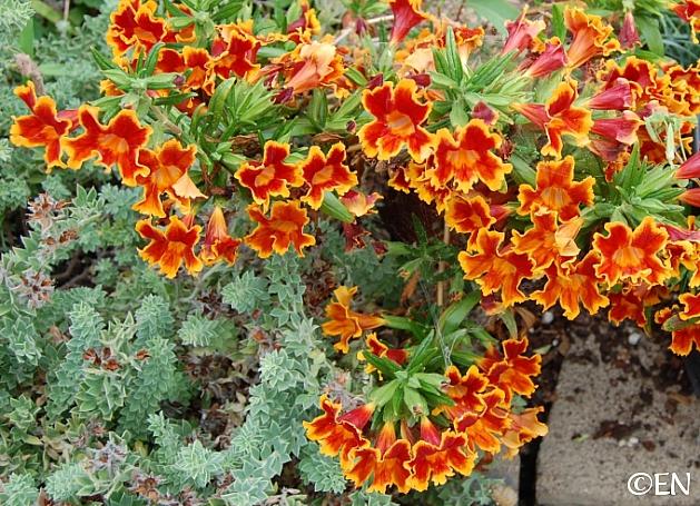 Mimulus   'Fiesta Marigold' monkeyflower