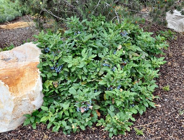 Berberis (Mahonia) aquifolium var. repens  creeping Oregon grape