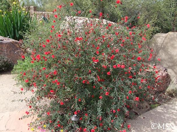 Calliandra californica  red fairyduster, zapotillo