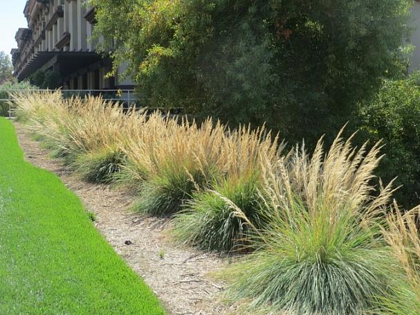 Muhlenbergia emersleyi  bull grass