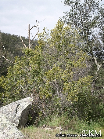 Rhamnus ilicifolia  hollyleaf redberry