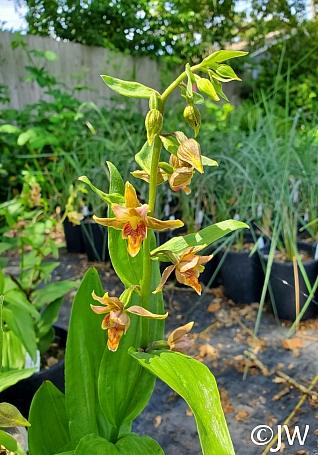 Epipactus gigantea  stream orchid