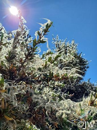 Cercocarpus ledifolius  curl-leaf mountain mahogany
