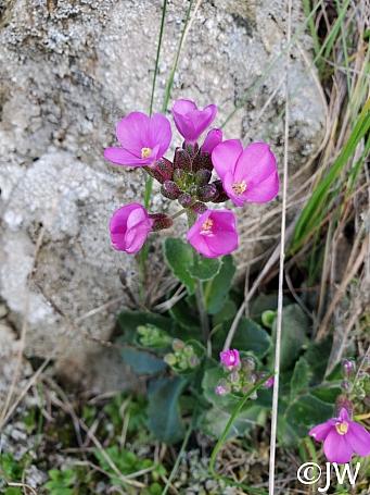 Arabis blepharophylla  rose rock cress