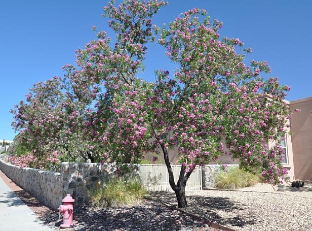Chilopsis  linearis  desert willow