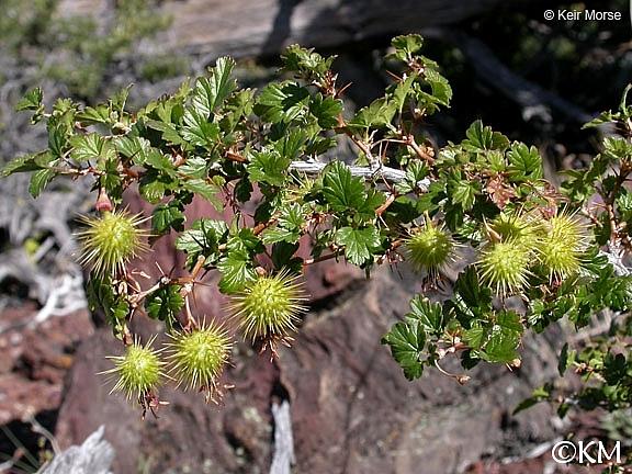 Ribes roezlii  Sierra gooseberry