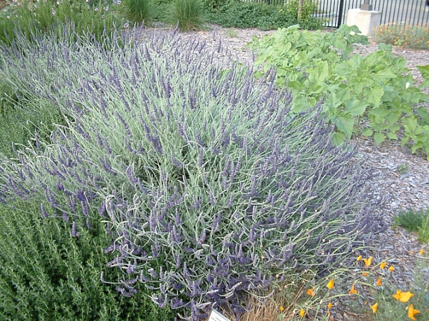 Lavandula   'Goodwin Creek Grey' lavender