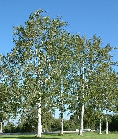 Platanus racemosa  California sycamore