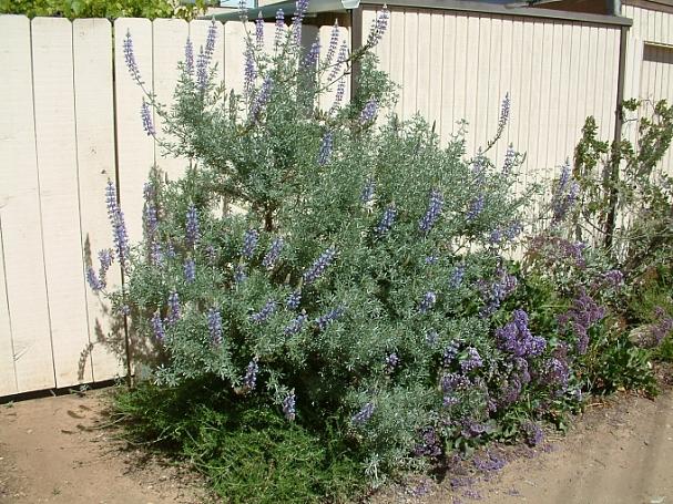 Lupinus arboreus - blue flowered form  blue bush lupine