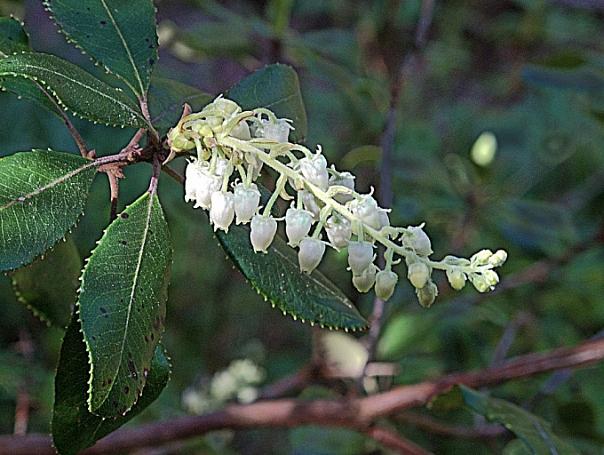 Comarostaphylis diversifolia  summer holly