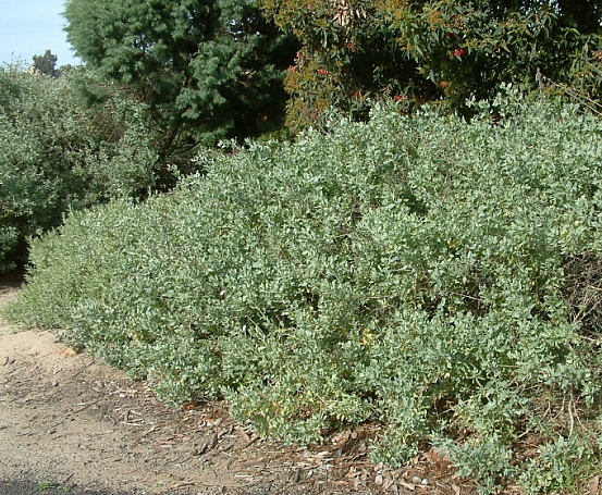 Atriplex lentiformis  quail bush